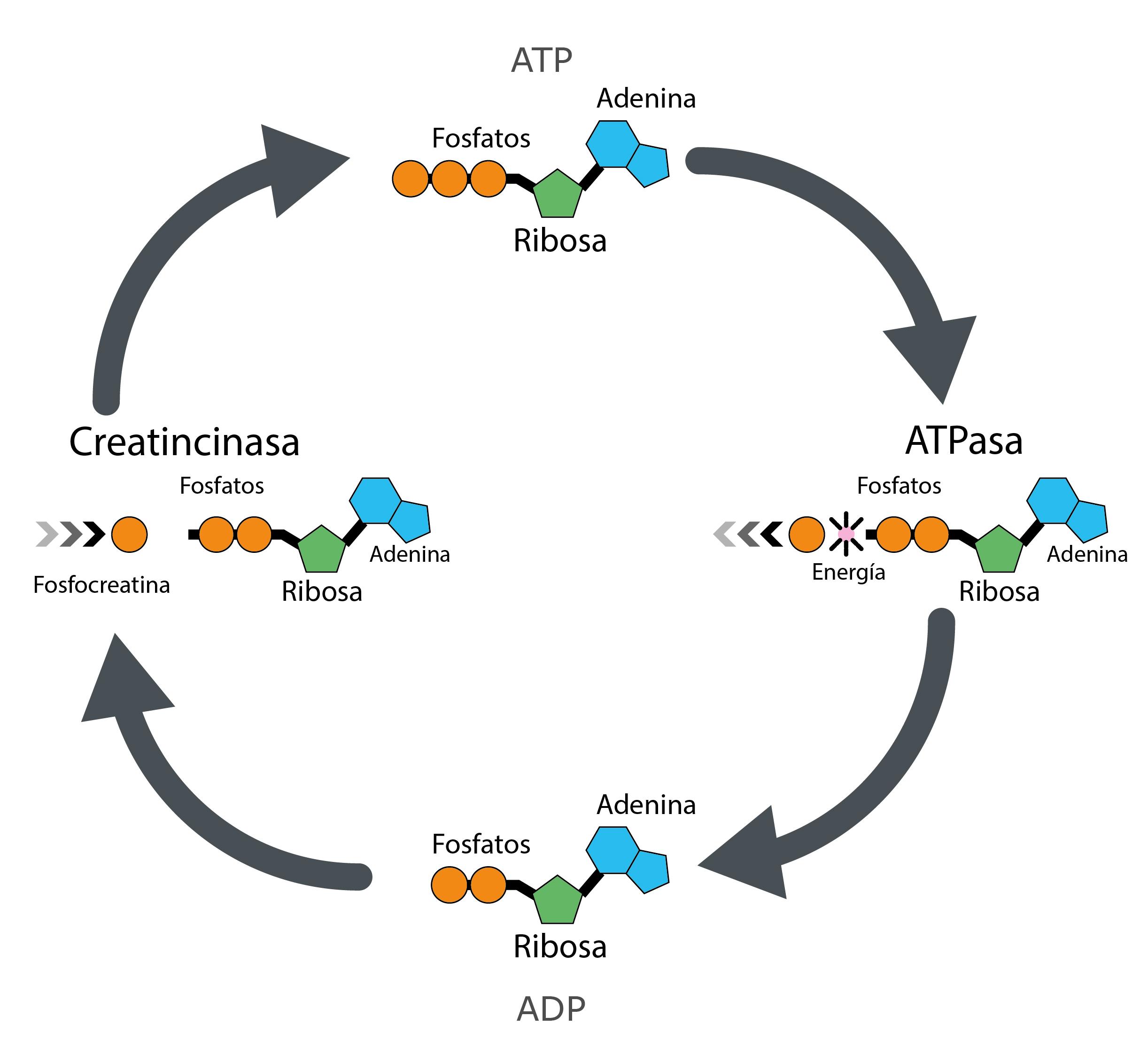 Sistema de fosfágenos en el entrenamiento de fuerza